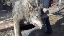 Şehre İnen kurdu kangal köpeği boğarak öldürdü