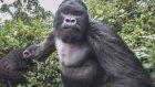 Alkollü Goril Sinirlenirse