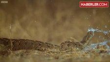 Yılanın Saldırı Anı Saniye Saniye Görüntülendi