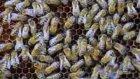 Bal Arılarının Dereceleri mi Var? - İbretlik Gerçekler