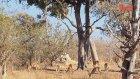 Leoparın Müthiş Avlanma Taktiği