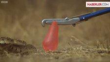 Su Dolu Balona Saldıran Yılan Kamerada