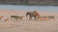 14 Aslanı Alt Eden Cesur Fil