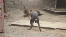 Psikopat Horoz ve Zavallı Köpek