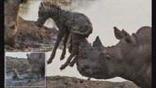 Yavru Zebrayı Kurtarmak İsterken Öldüren Su Aygırı