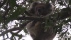Koalalar zehirli iğneyle öldürüldü