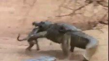 Yavru Maymun Avlayan Timsaha Saldırı