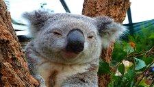 Koala'ların En Sevimli Halleri