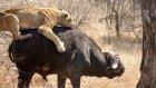 Aslanlardan Mandayı Kurtaran Fil