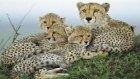 Yavrularını Korumak İçin Savaş Veren Anne Çita