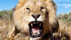 Aslanlar Hakkında 10 Vahşi Bilgi