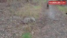 İki Koalanın Kıyasıya Güreş Mücadelesi