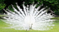 Beyaz Tavus Kuşunun Muhteşem Güzelliği