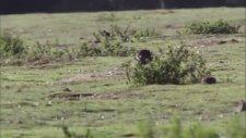 Gelinciğin Tavşan Avı