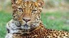 Amur Leoparı