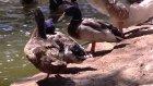 Vav Çocuk - Hayvanlar Alemi Bölümü (Ördekler ve Kazlar) - TRT DİYANET
