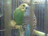 kuştan basınçlı öpücük...