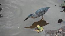 Akıllı Kuş Bisküvit İle Balık Yakalıyor