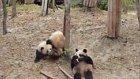 Röntgenci Pandanın Hazin Sonu