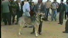 Aksaray Köpek Dövüşleri