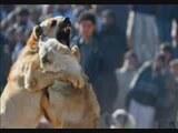 Kangal Köpek Boğuşu 5