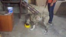 Kangal Ve Presa Canario Bandog İlginç Bir Köpek Ve Videosu