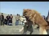 Köpek Boğuşu Kangal Sivas