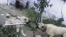 Sivas Kangalı Kafkas Kangalı Köpek Dövüşleri