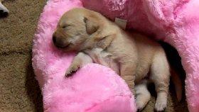 Uyuyan Labrador Yavruları