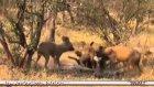 afrika köpekleri hayvanı canlı canlı yediler