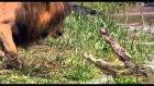 Aslan timsaha posta koyuyor