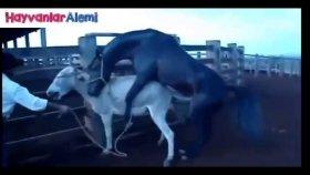 Atla Eşşek çiftleştirilmesi