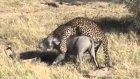 leopar domuz avlıyor