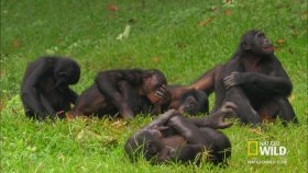 Maymunların çiftleşmesi