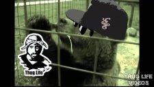 Kolaya Susayan Ayı - Thug Life