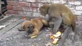 Yavru Köpekle Dalga Geçen Psikopat Maymun