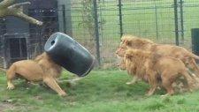 Başı Varile Sıkışan Aslan