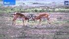 Kavga Ederken Aslana Av Olan Antilop