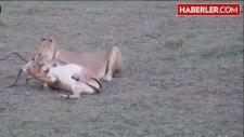 Çiftleşmek İçin Kavga Eden Antilop Aslana Yem Oldu