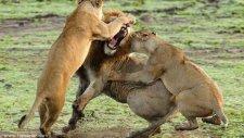 Aslanlar Feci Şekilde Kavga Ediyor