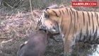 Kaplan Hayatının En Kolay Avını Yakaladı