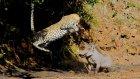 Leopar Sıçratan Yaban Domuzu