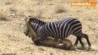 Zebra, Aslanı Isırarak Hayatta Kaldı