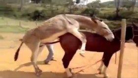 Eşek Ve At Çiftleşmesi