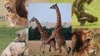 Hayvan Çiftleşme Videoları Derleme