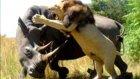 Gergedan ile Aslan Kavgası