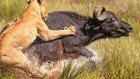 Aslanlar Buffaloyu Parçalıyor