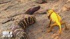 Kobra Yılanı ve Bukalemun Karşılaşırsa
