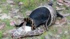 Piton Yılanı Keçiye Acımadı