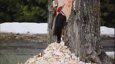 Ağaçkakan'ın Muhteşem İşçiliği